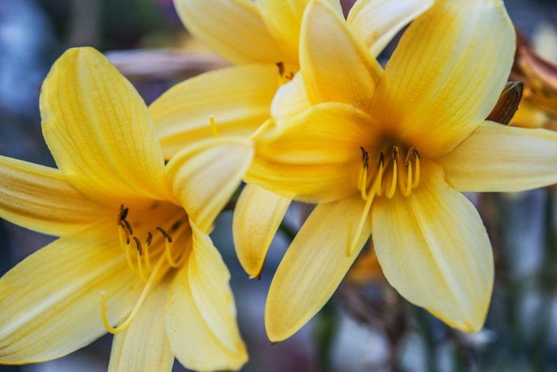 Особенности пересадки лилий
