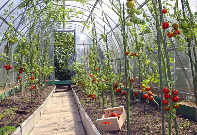 Летний уход за томатами: организация подкормок, полива, профилактических процедур