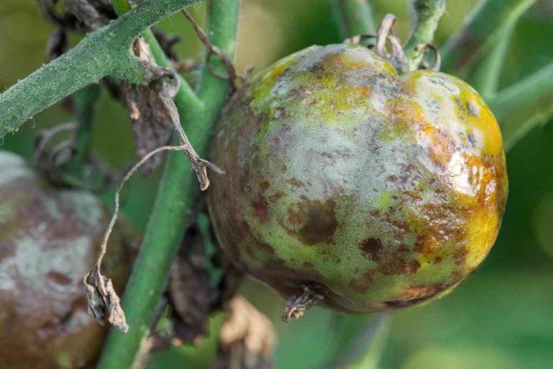 Бор — необходимый элемент для томатов