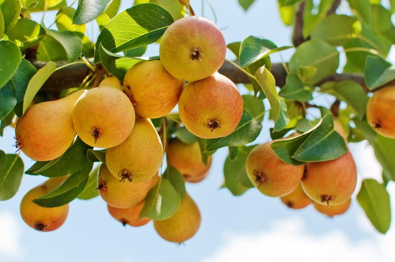 Как правильно подкормить плодовый сад в конце лета
