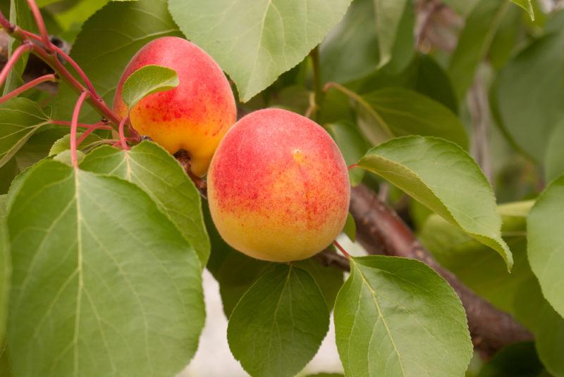 Правила выращивания абрикоса из маленькой косточки