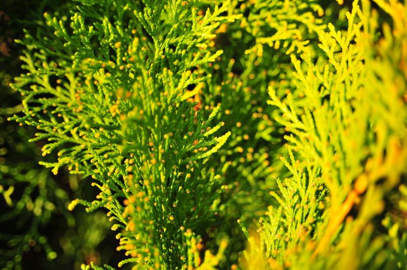 Чем болеют хвойные растения и как их лечить
