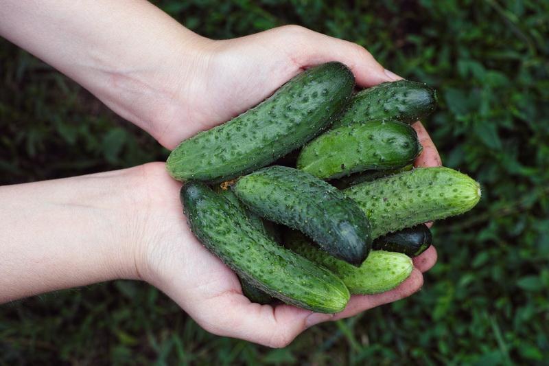 Памятка огородника: как вырастить урожай сочных и сладких огурцов
