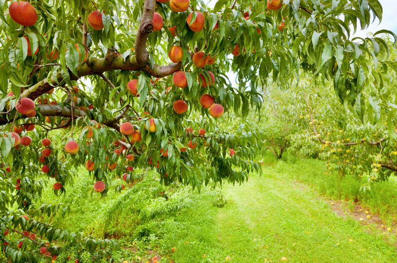 Правила посадки персика осенью: как выбрать молодое растение, подготовка посадочного места