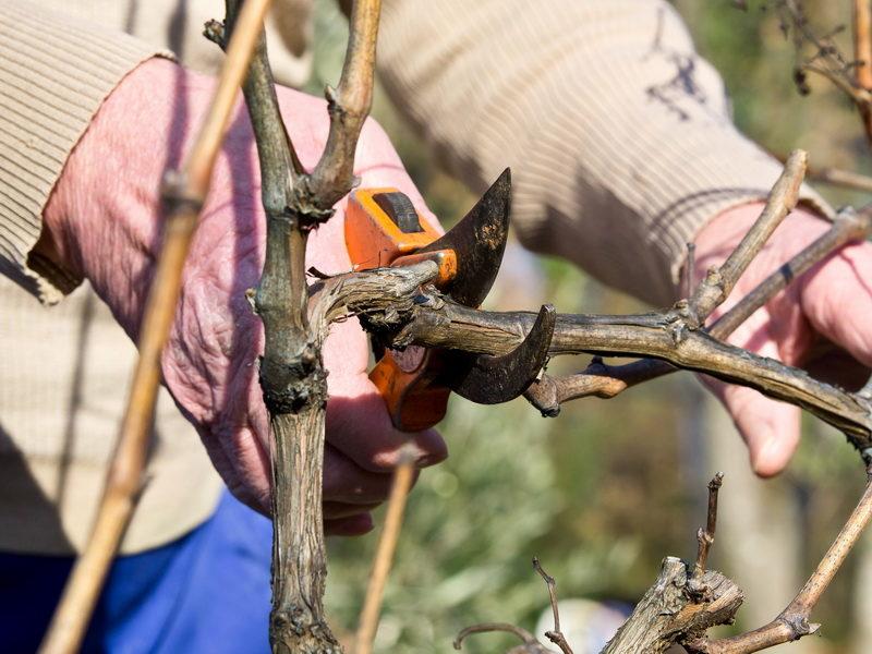 Тонкости обрезки винограда