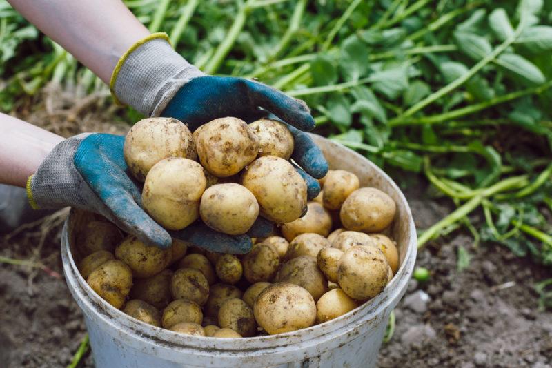 Когда наступает пора уборки картофеля и ее правильные сроки копки