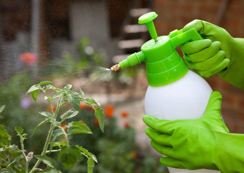 Основные мероприятия по уходу за томатами в августе: прищипка, удаление пасынков, обработка от вредителей