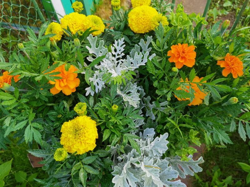 Выращиваем на участке красивые бархатцы без хлопот и затрат