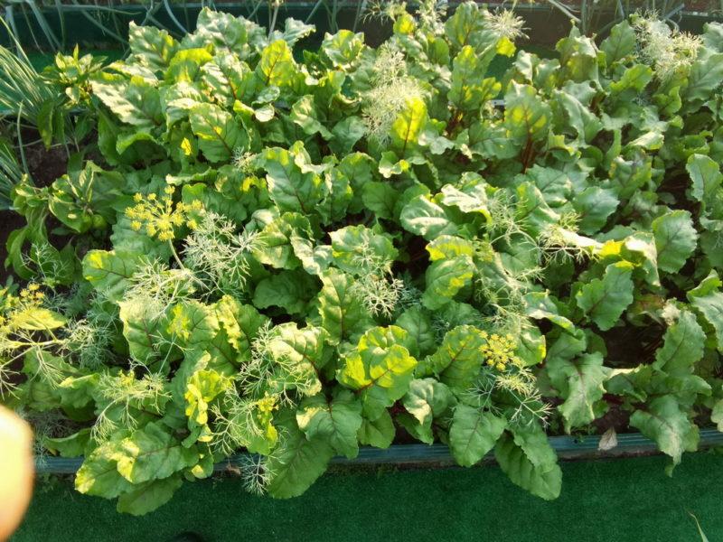 Помещение свекольной ботвы под томаты: польза и правила нестандартной подкормки