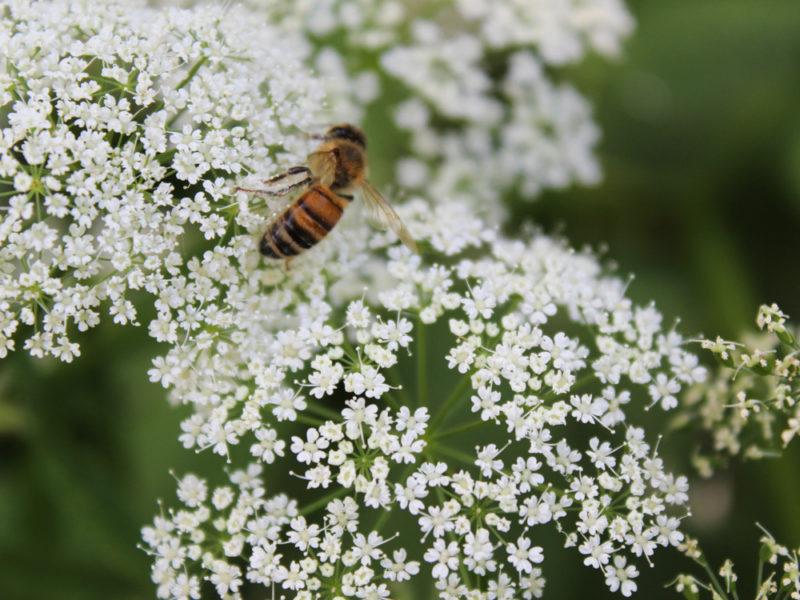 Особенности пчелиных пород в России