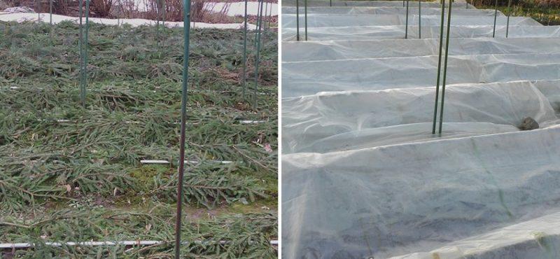 Правильная подготовка ирисов к зиме после цветения. Что я делаю всегда, чтобы они рано и пышно расцветали