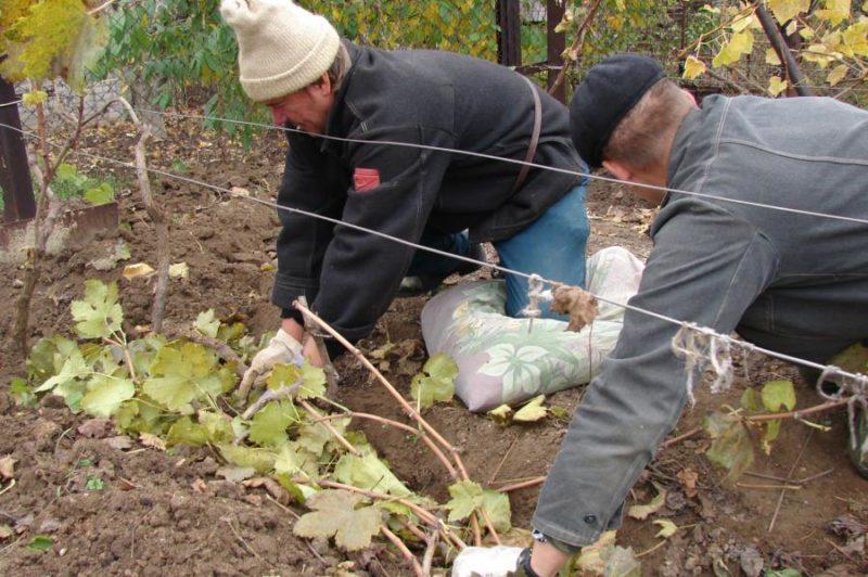Можно ли пересаживать виноград осенью: правила и сроки для процедуры