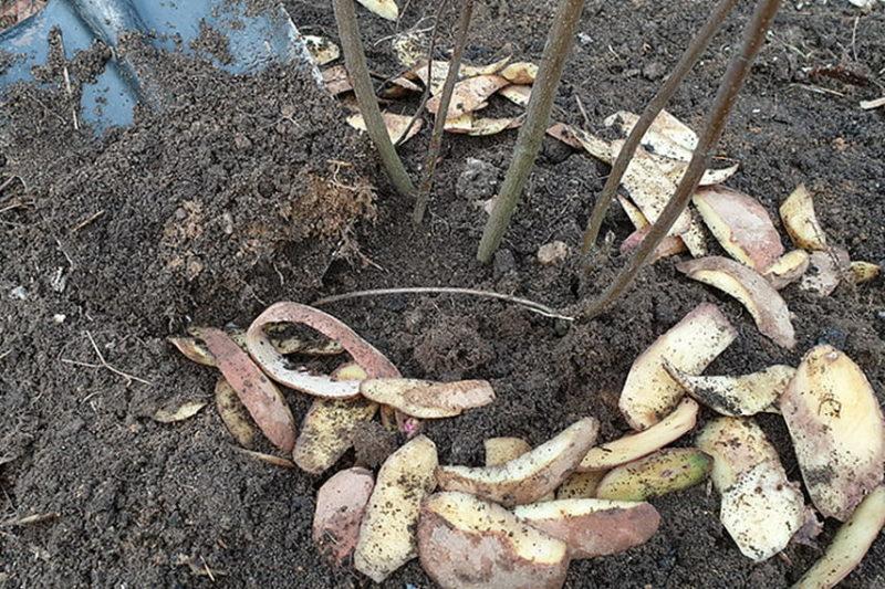Картофельные очистки — не мусор! Как я ежегодно получаю ценнейшее удобрение без финансовых затрат