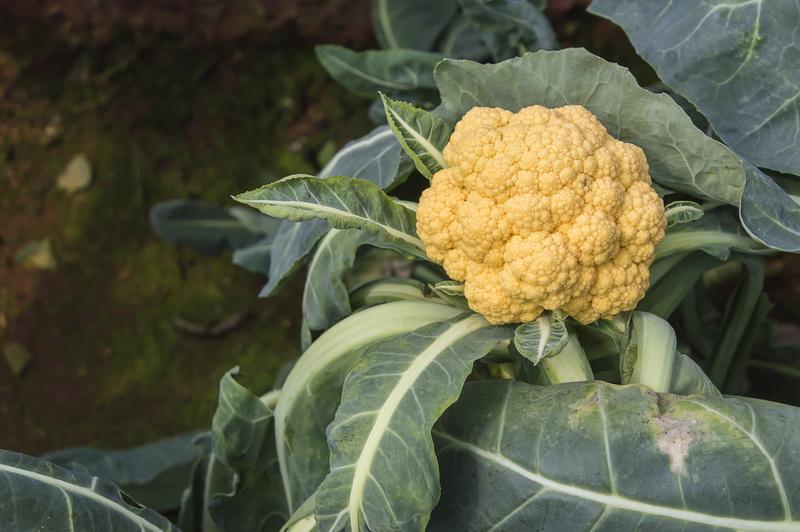 Можно ли употреблять в пищу цветную капусту, если она зацвела