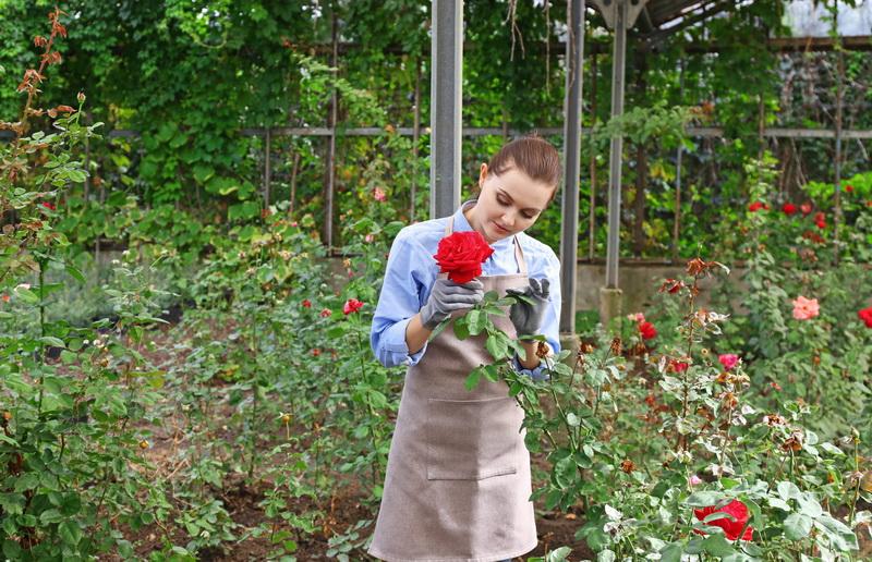 Правила осеннего черенкования роз