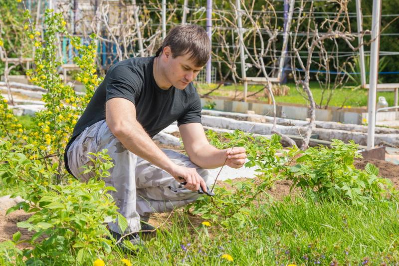 Особенности обрезки малины летом после плодоношения