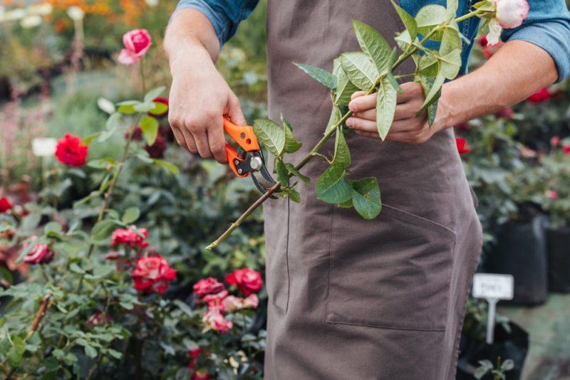 Летнее черенкование роз: пошаговая инструкция