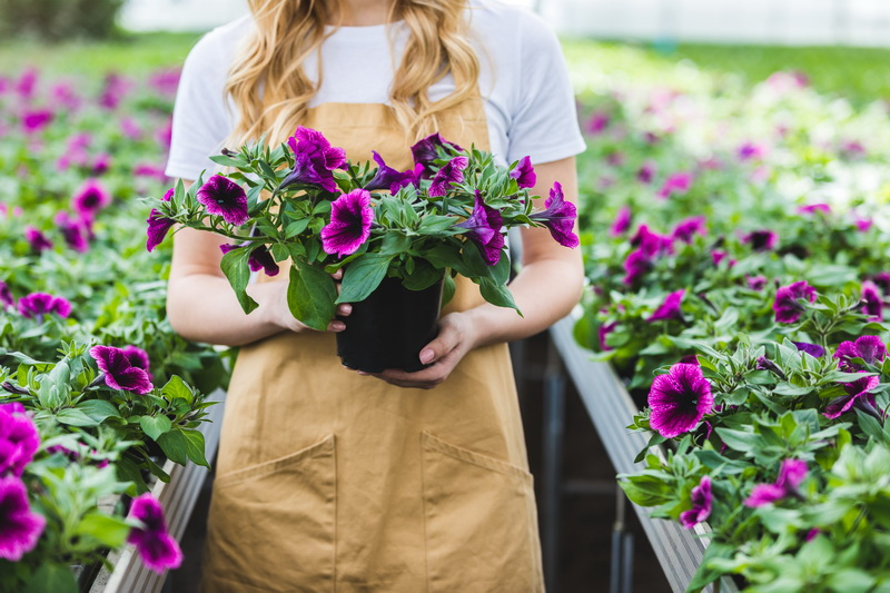 Как добиться пышного цветения у петунии: правильная посадка, дальнейший уход