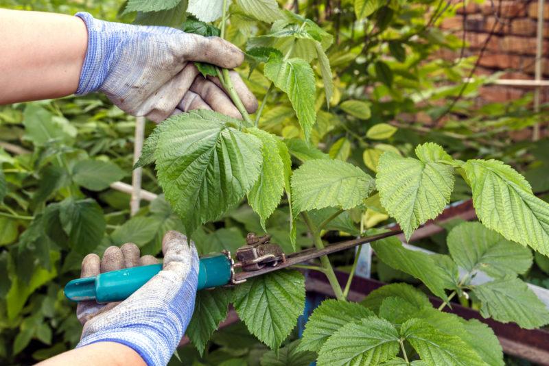 Малиновое чудо — дар природы садоводам, как правильно обрезать ремонтантные сорта перед зимовкой