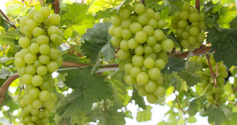 Как правильно размножить виноград осенью