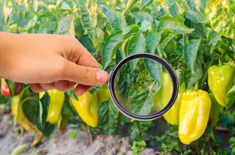 Сохраняем урожай: как и когда убирать с куста перцы