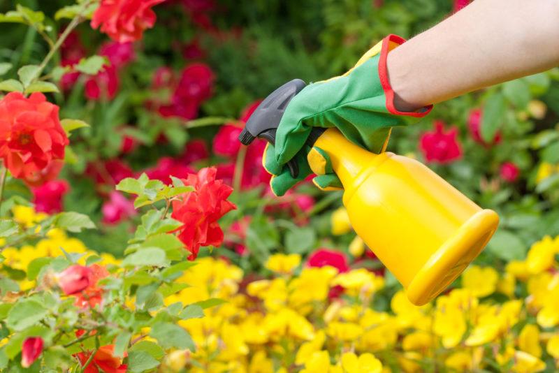 Чем и как я подкармливаю розы осенью для прекрасного и бурного цветения в новом сезоне