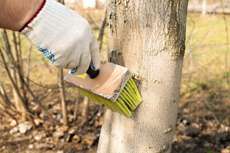 Когда и как я белю деревья на своем участке. Особенности осенней и весенней побелок