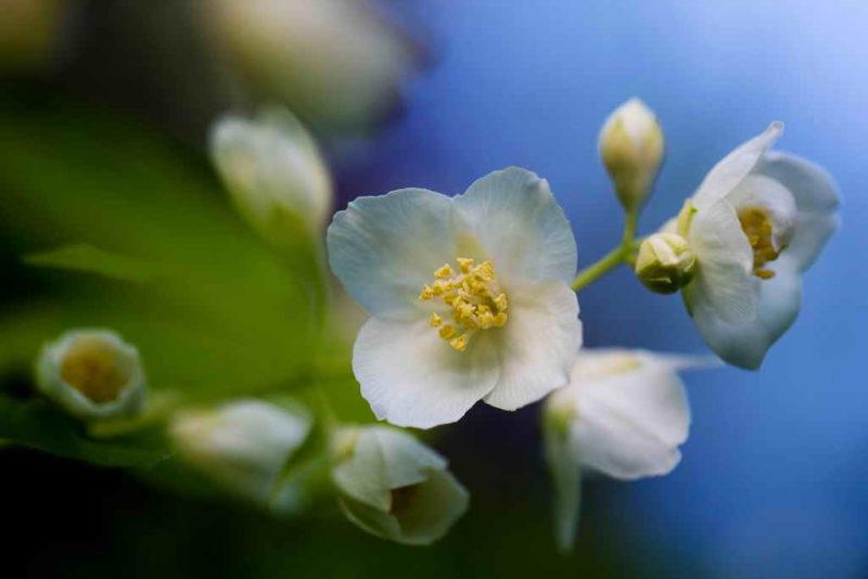 Осенняя обрезка жасмина для пышного цветения в новом сезоне