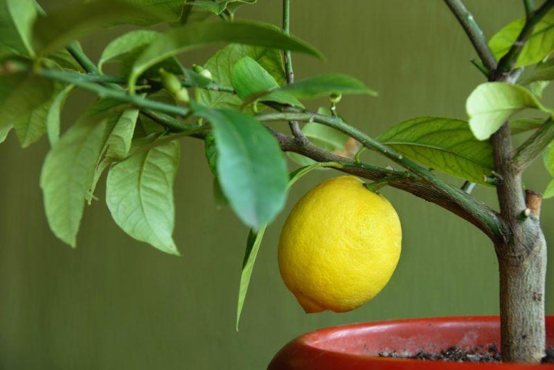 Почему у лимона опадают листья и что с этим делать