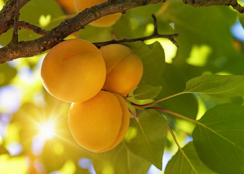 Осенний уход за абрикосом: выращиваем здоровое дерево и наслаждаемся богатым урожаем