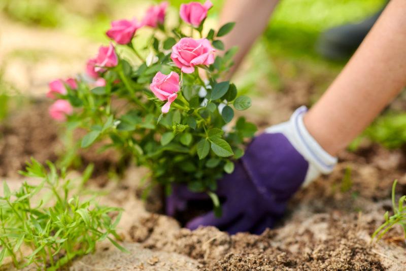 Тонкости осенней пересадки садовых роз