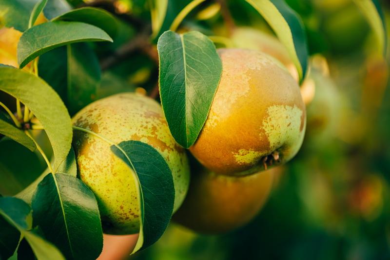 Пересадка груши на новое место осенью: преимущества, сроки, выбор и подготовка места