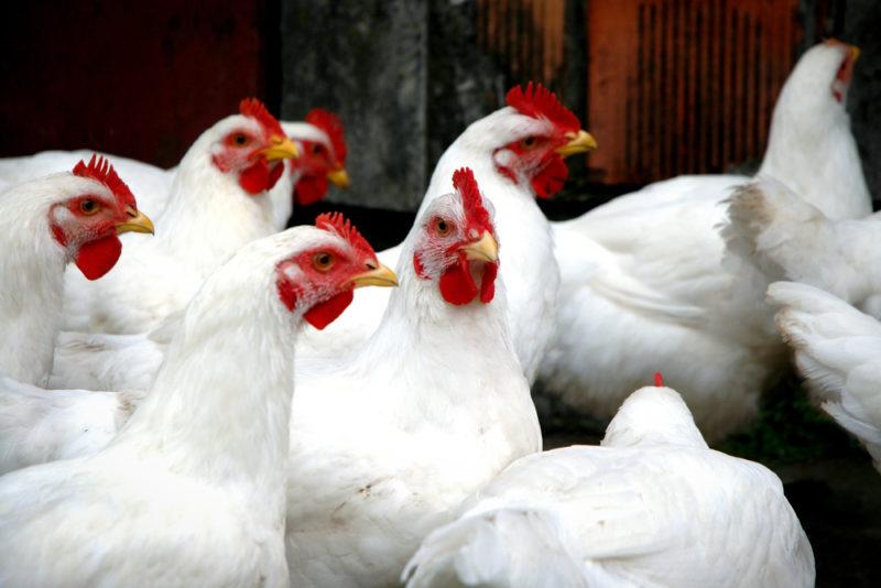 Причины отсутствия яиц в курятнике в осеннее время года