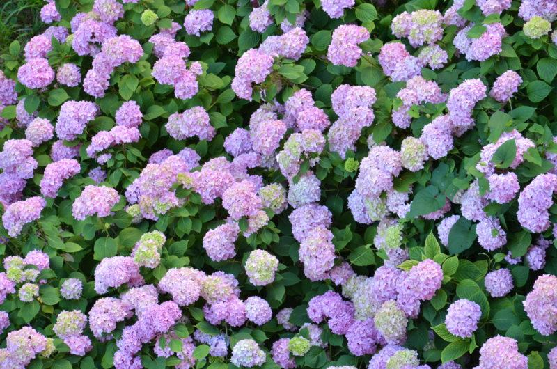 Мои красавицы-гортензии восхищают и привлекают взгляды — как я их сажаю осенью, чтобы этого добиться