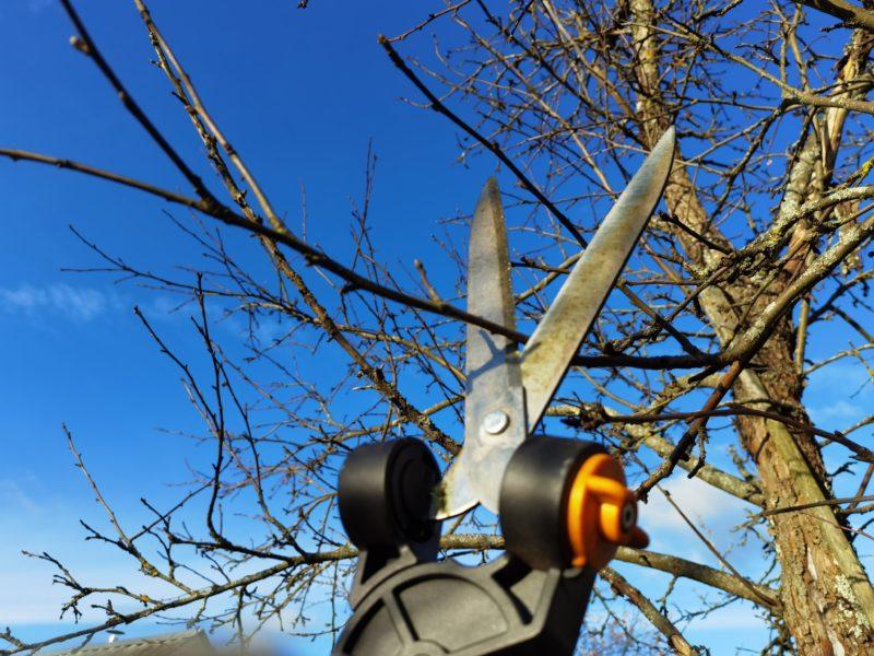 Правила проведения омолаживающей обрезки яблони