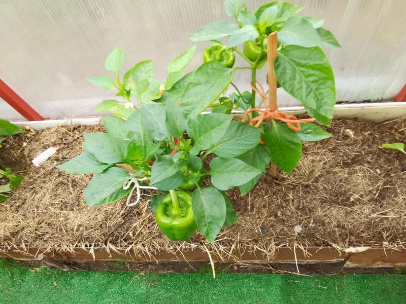 Полив перца: как часто его выполнять для хорошей урожайности