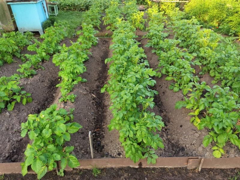 Посадка картофеля семенами: разбираем подробно