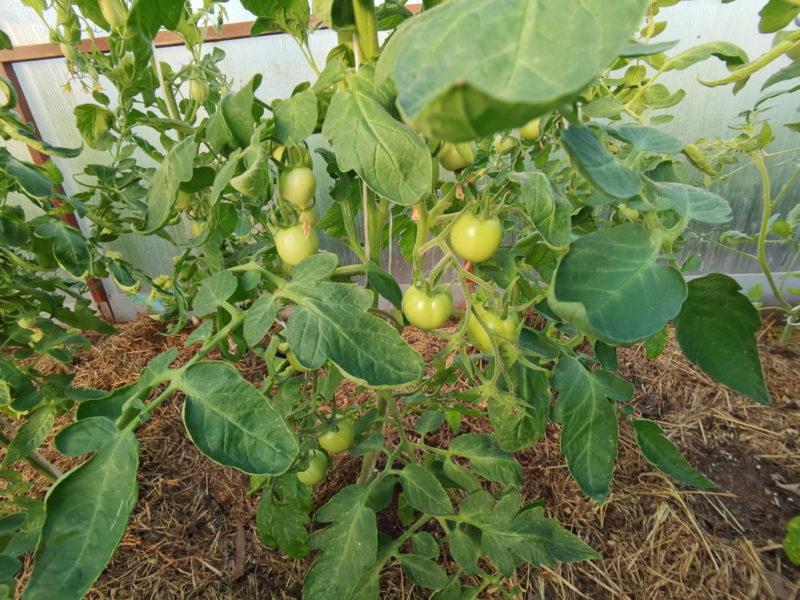 Причины появления черных пятен на помидорах, методы борьбы и профилактики