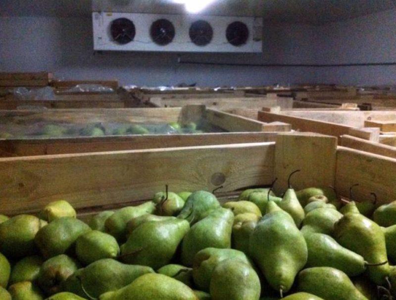 Хранение груши и какими способами можно помочь фруктам дозреть в домашних условиях
