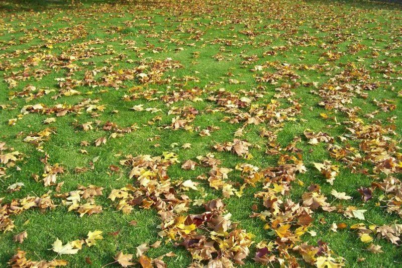 Опавшие листья — мои верные помощники на даче. Целых 10 проверенных на собственном опыте вариантов использования «мусора»