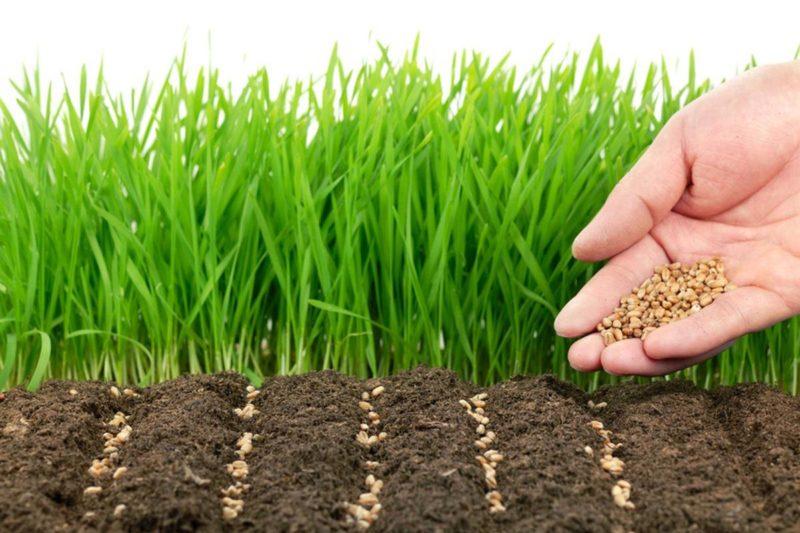 Сидераты — мои верные помощники на огороде: какие и в какое время сею, когда закапываю в грунт