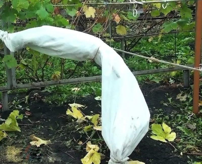 Осенние работы в винограднике, которые помогут сохранить его до весны и обеспечат богатое плодоношение
