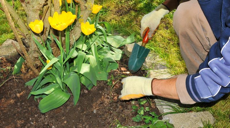 Пять основных ошибок при посадке тюльпанов в осенний период — проверьте, не совершаете ли вы их