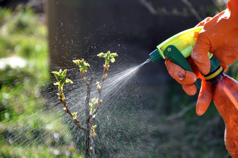 Тонкости подготовки кустов смородины и крыжовника к зиме, которые помогают мне сохранять кустики здоровыми и собирать большие урожаи