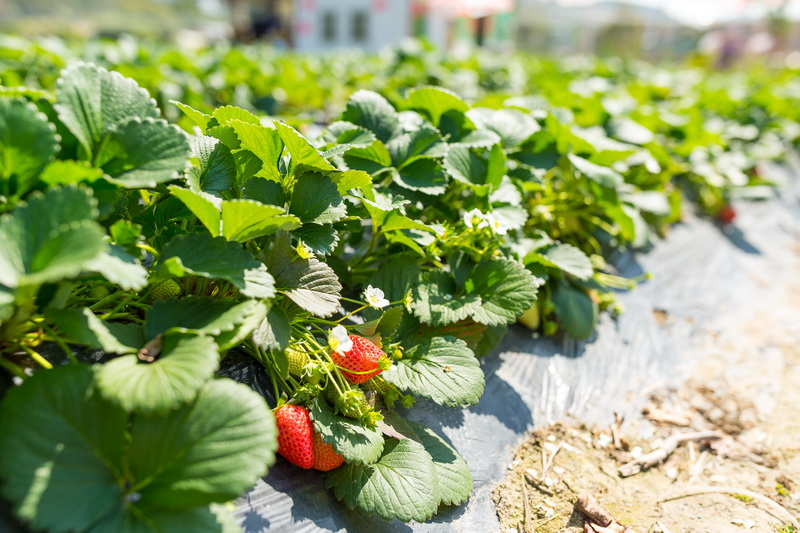 Чем я удобряю свою клубничную плантацию осенью, чтобы получить высокий и качественный урожай в следующем году