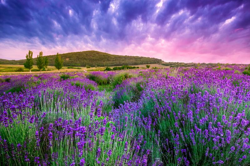 Как я сохраняю лаванду зимой на открытых участках — правильно готовлю к зимовке, укрываю и наслаждаюсь цветением и ароматом в сезон