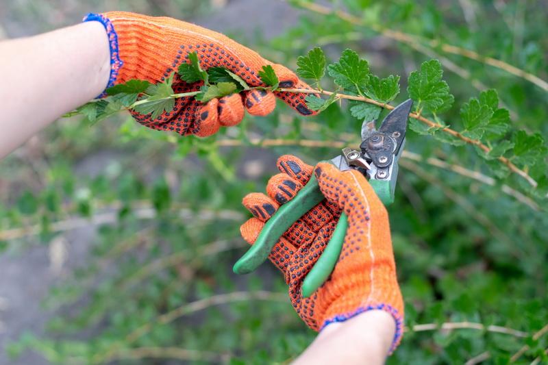 Правильная обрезка куста крыжовника в осеннюю пору. Действую так каждый год, кусты здоровы, ягоды крупные и очень вкусные