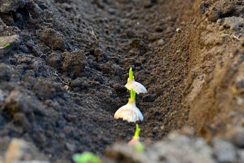 Разные методы посадки озимого чеснока осенью под зиму в открытый грунт