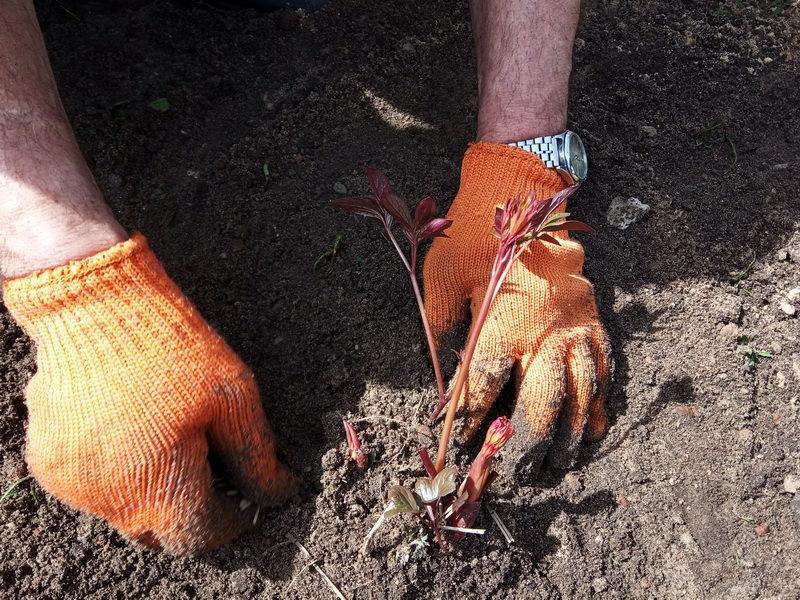 Как я ухаживаю за моими пионами осенью: основные правила агротехники