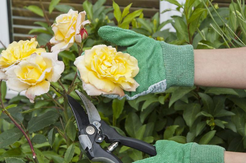 Осень — лучшая пора для обрезки роз, мои советы по проведению процедуры, которую я изучил от и до
